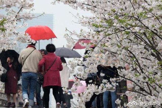 宁波樱花公园进入盛花期 漫步雨中赏樱别样情