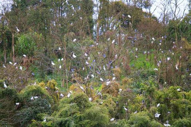 浙江宁海:优良生态吸引上千鹭鸟占岛为王