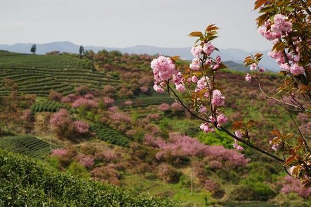 四明山旅游节在宁波开幕 留学生赞美余姚大岚樱花