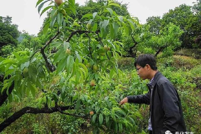 奉化特早熟水蜜桃开始成熟上市 味道鲜甜个头不大