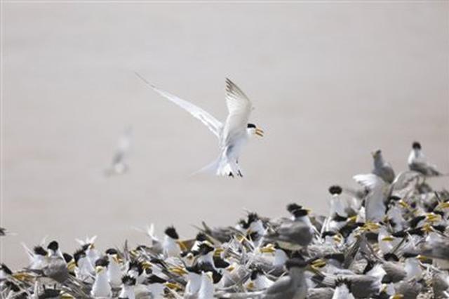 象山韭山列岛迎66只神话之鸟 全球总数首次突破100只