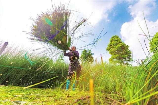 割草客赶到宁波古林镇蔺草基地 开启蔺草收割之旅