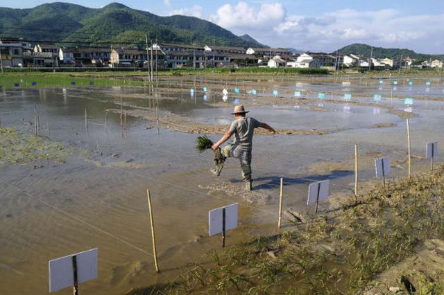 奉化农民以稻为笔 创作216米大气磅礴的长画卷稻田画