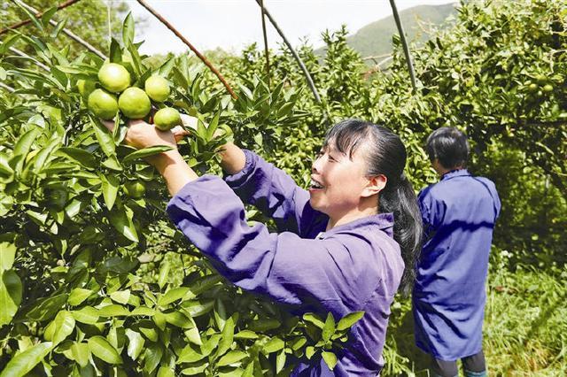 象山泊戈洋橘园开摘 工人们进入繁忙采摘时光