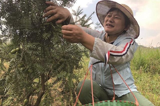 宁波四明山香榧进入采摘季 青绿果实挂满枝头