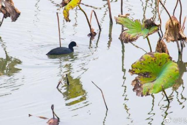 宁波城区生态环境越来越好 甬新河上黑鸭嬉水觅食