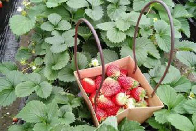 奉化溪口等地草莓大规模成熟 草莓采摘线路出炉
