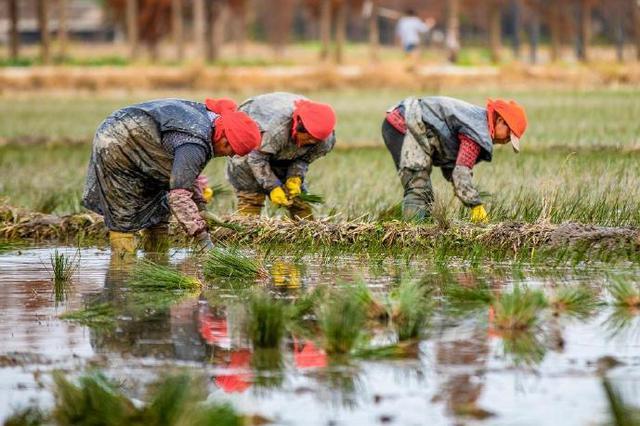 宁波海曙田里一片忙碌景象 又一季的蔺草已开始插秧