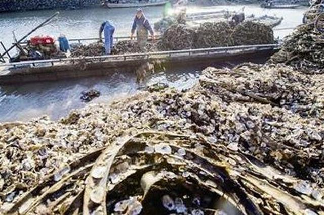 宁波人喜爱的牡蛎正值收获季 做法多种多样美味无穷