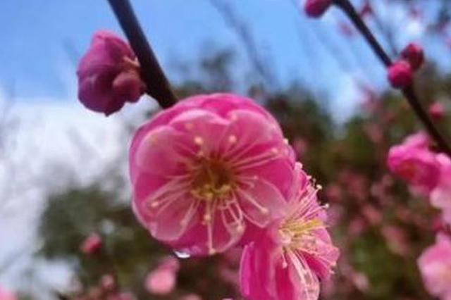 宁波各地梅花陆续绽放 岁末寒冬赏梅共迎新春