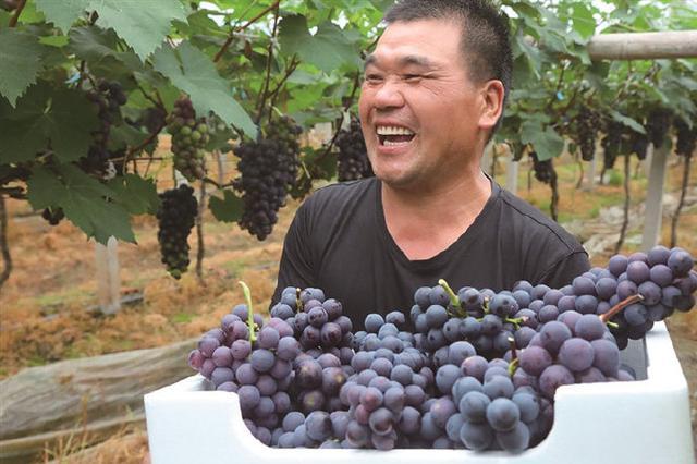 象山高塘岛乡三五村果农种植的夏黑葡萄上市