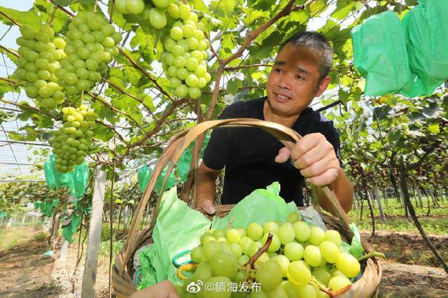 镇海九龙湖葡萄呈现丰收景象 果实晶莹剔透水润饱满