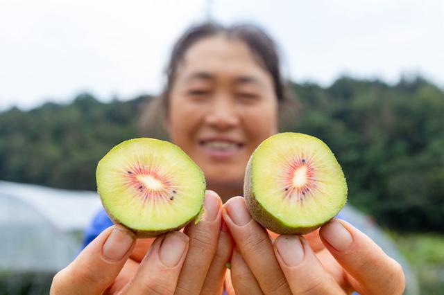 海曙高桥镇猕猴桃挂满枝头 本地猕猴桃今年喜获丰收