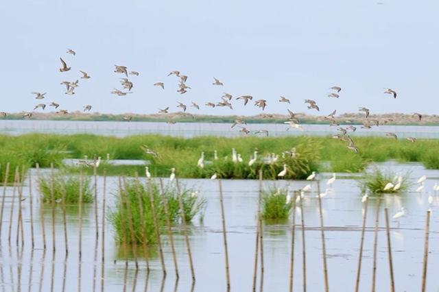 宁波杭州湾即将迎来最美候鸟季 大批候鸟飞抵宁波