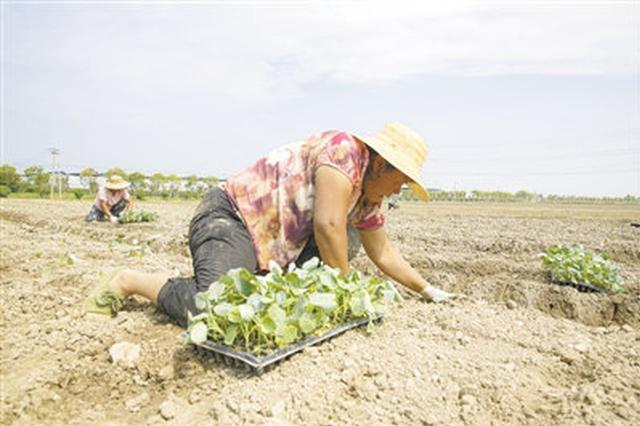 慈溪海通时代农业园抢种西兰花 采用移动喷灌设备