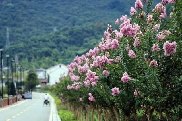 宁波北仑郭巨紫薇花开正好 妆点着阴雨连绵的初秋