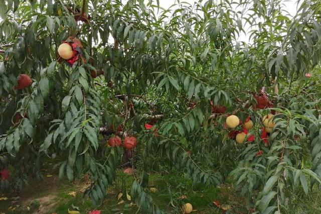 北仑金秋红蜜桃迎来丰收季 白里透红的果实挂满枝头
