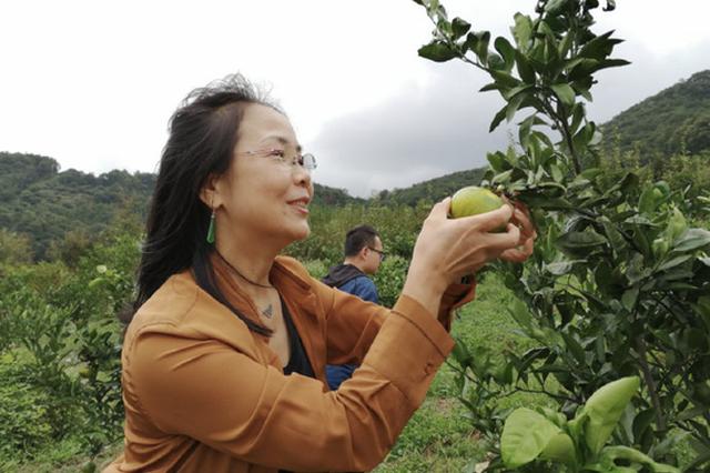 北仑乡村采摘游成国庆旅游亮点 青黄的桔子挂满枝头