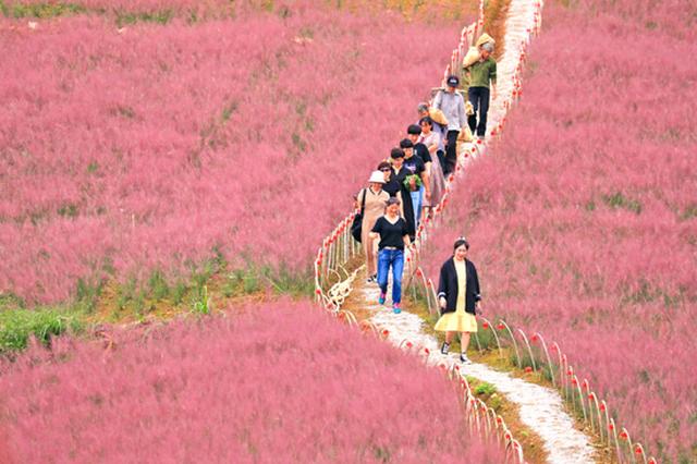 塘溪30多亩粉黛乱子草浪漫开放 吸引市民前来打卡