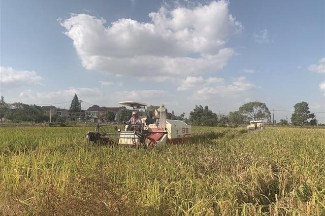奉化6万亩单季稻陆续开镰 留下一排排整齐的稻茬