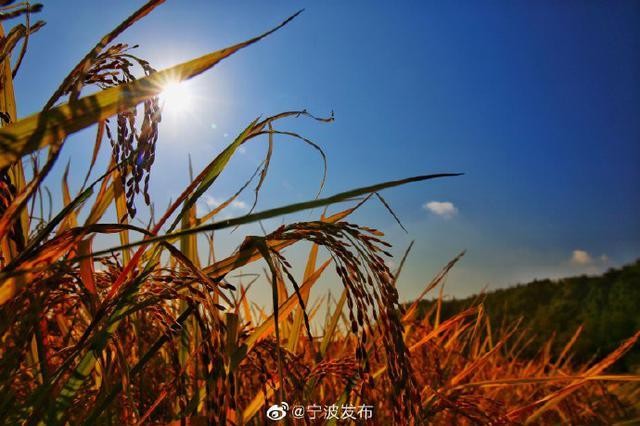 宁海桑洲山村区域水稻成熟 宛如一幅幅金色的画卷