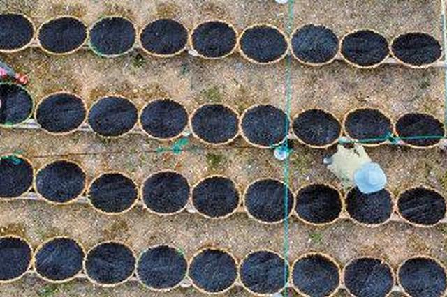 """象山""""头水紫菜""""现已开采 紫菜养殖海域一片忙碌"""