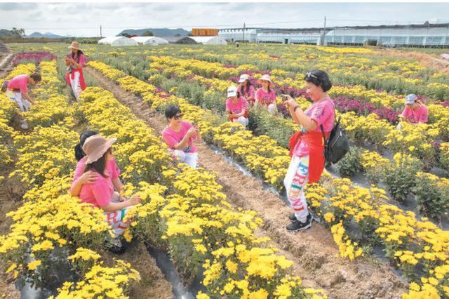 宁海海头菊花总面积达百余亩 吸引众多游客前来观赏