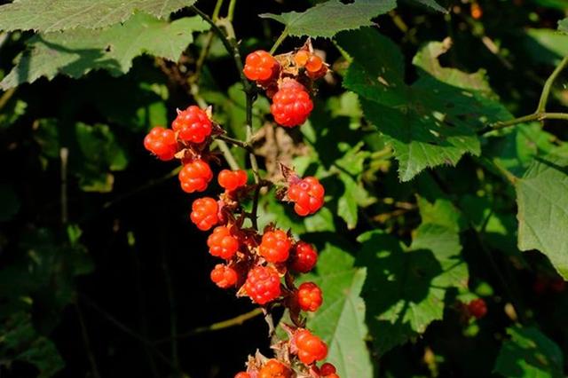 宁波秋季12种野果逐渐成熟 部分仅供观赏不宜食用