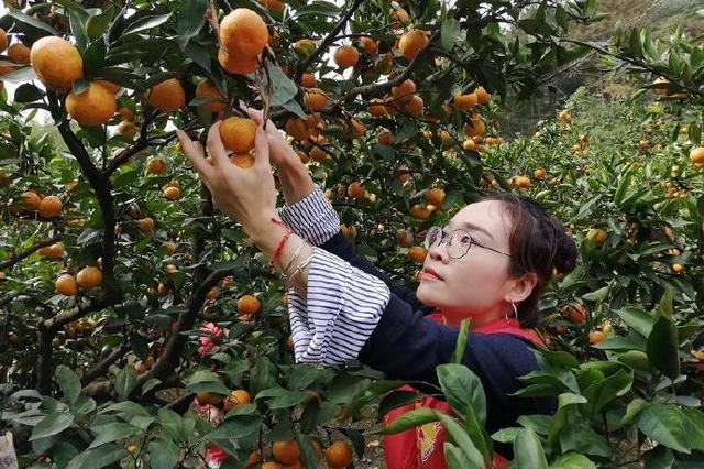 北仑爱心人士上门采购橘子 解决桔农产量滞销难题