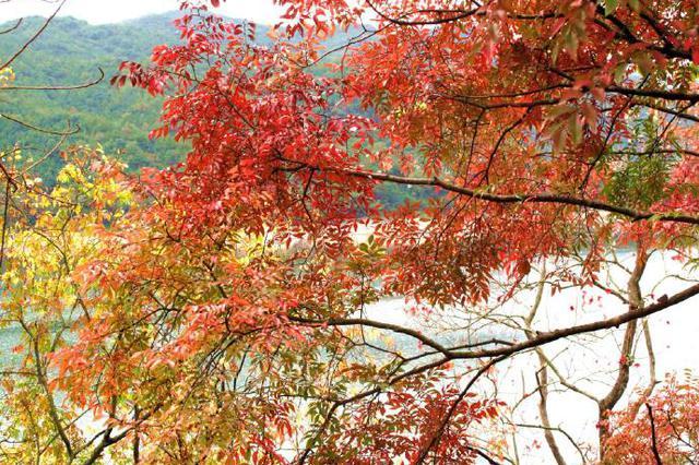 奉化出现秋季最红的乌桕 将出现层林尽染的壮观景象