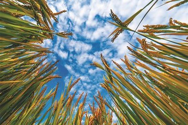 北仑600亩养殖塘变身高标准农田 扩大水稻种植面积