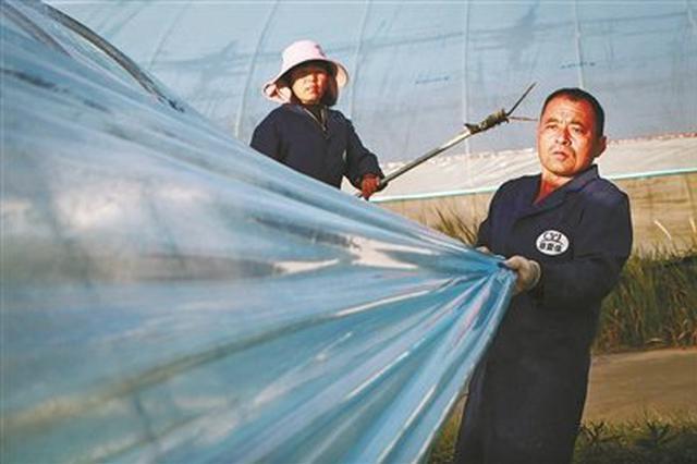 慈溪农业园为大棚草莓等盖薄膜 保障农作物正常生长