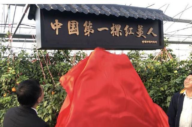 """象山甬红果园人头攒动 为中国第一棵""""红美人""""揭牌"""