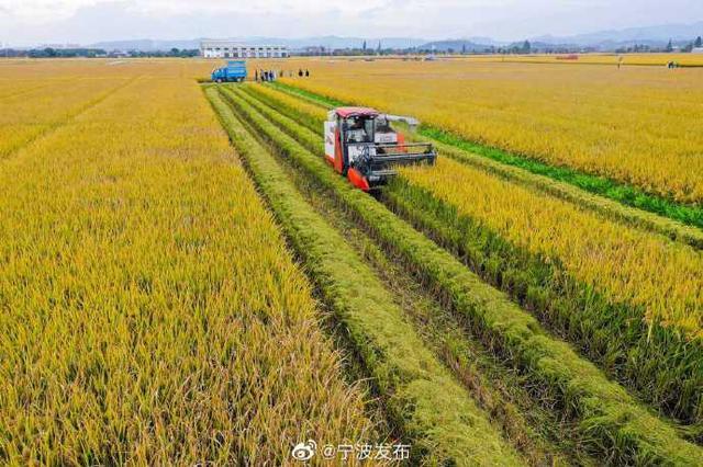 甬国家级示范项目首次晚稻收割 农技专家组进行测产