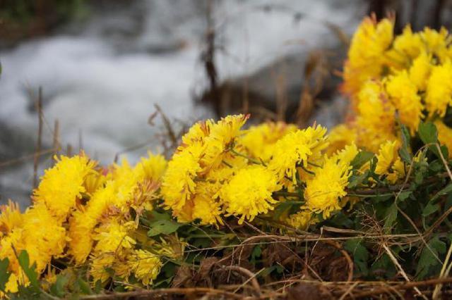 海曙十亩金丝皇菊竞相开放 阳光照耀下显得灿烂金黄