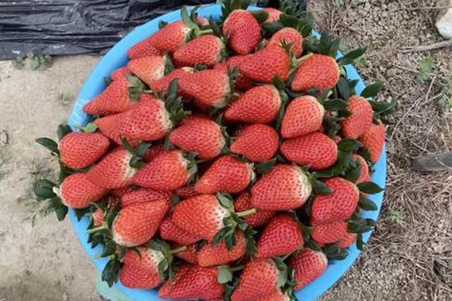 奉化本地头茬草莓将大批量上市 届时价格会有所回落