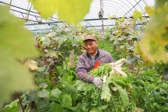 高桥镇金丰葡萄园内种蔬菜 合理有效利用富余土地