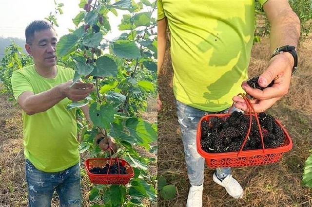 北仑成功引种台湾四季桑果 深红绛紫的桑葚挂满枝头