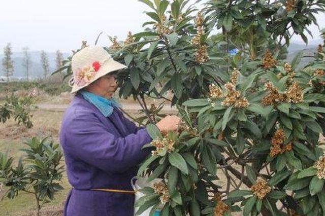 宁海村民为枇杷树梳花 保障第二年枇杷果实的品质