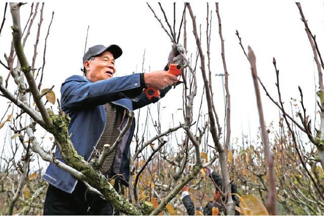 宁海梨农们忙着修剪梨枝 梨树冬剪有利于复壮树冠