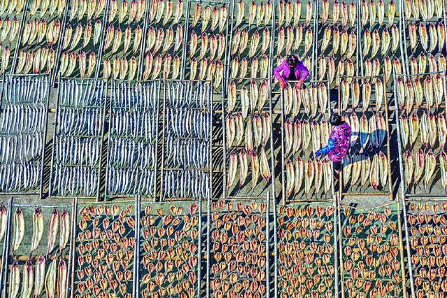 象山茅洋乡村民们忙着晾晒鱼鲞 供应节日市场需求