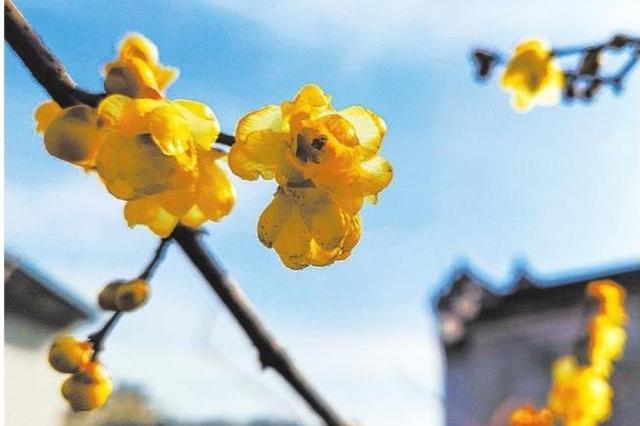慈溪鸣鹤古镇的腊梅开了 构筑古镇冬日里的别致风景
