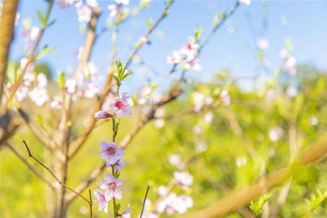 春色满园关不住溪口桃花已盛开 花期可延续至4月中旬