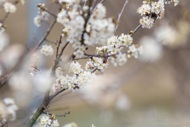 甬洞桥樱桃树花开得正艳 预计4月下旬可品尝地产樱桃