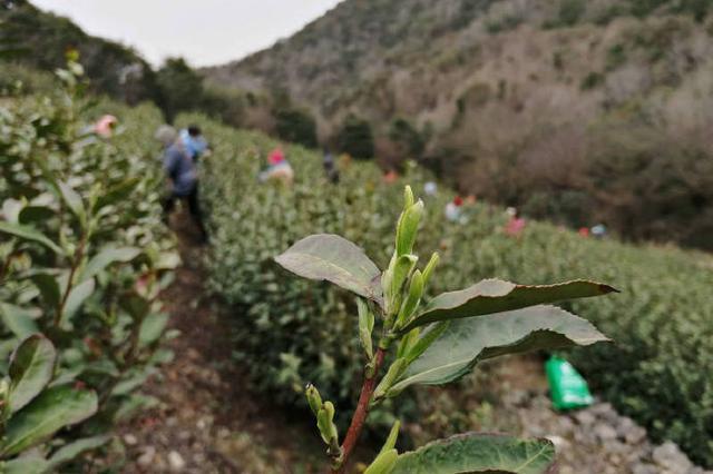 北仑春茶迎来采摘季 今年采摘时间比往年推迟了一周