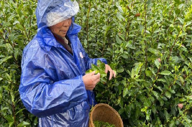 奉化西坞雨易茶场吐出新绿 采茶工忙碌在茶园小道间