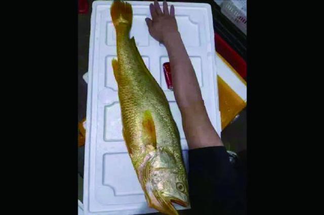 象山石浦渔民捕获两条野生大黄鱼 一上岸就高价成交