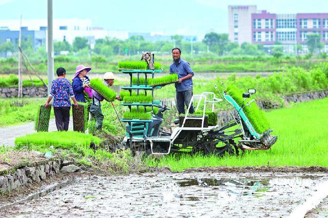象山涂茨镇开展大面积田间插播 农民开始忙碌起来了