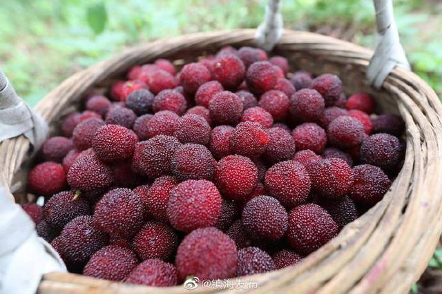 镇海本地杨梅又到上市时节 市场价能卖至30元每公斤