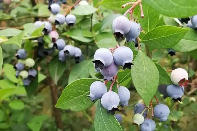 北仑水果盛宴从来不缺席 本地蓝莓和杨梅已经上市
